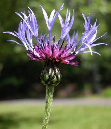 Standing Centaurea