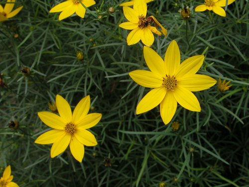 Coreopsis Yellow
