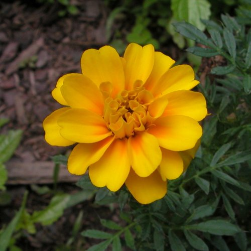 Marigold Yellow