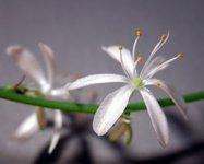 Spider Plant Blossom