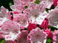 Mountain Laurel Blossoms