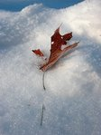 Leaves in snow (iv)