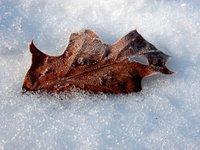 Leaves in snow (v)