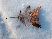 Leaves in snow (vi)