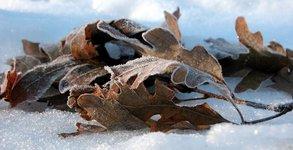 Leaves in snow (viii)