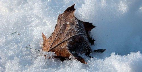 Leaves in snow (ii)