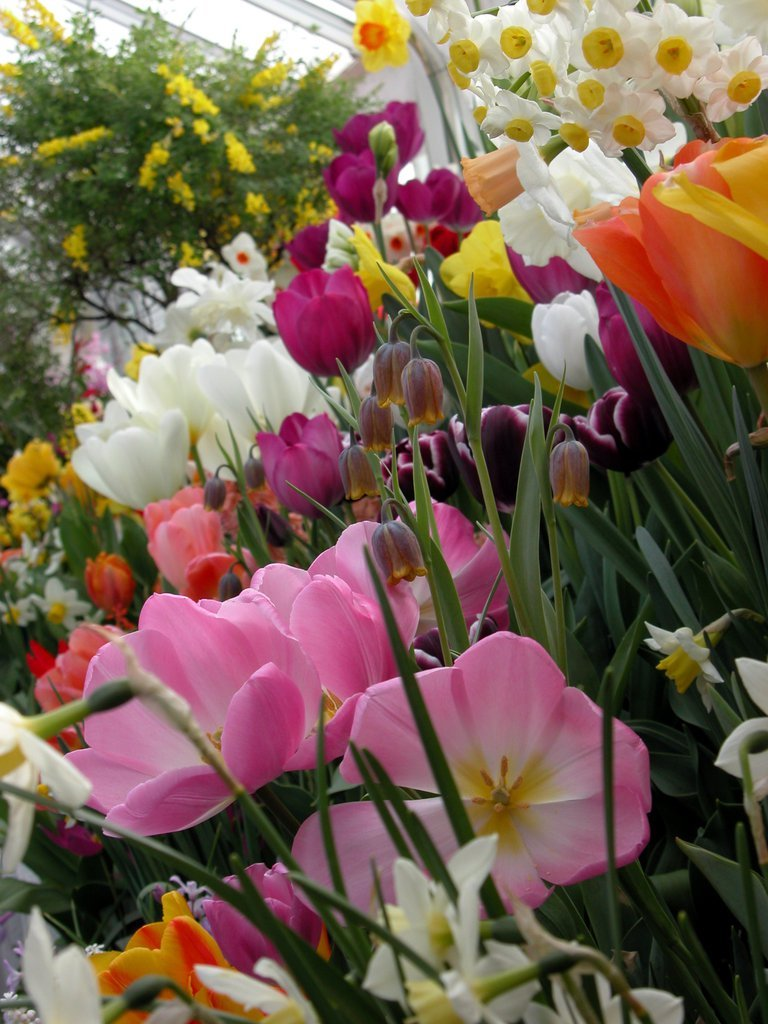 Smith College Spring Bulb Show (ii)