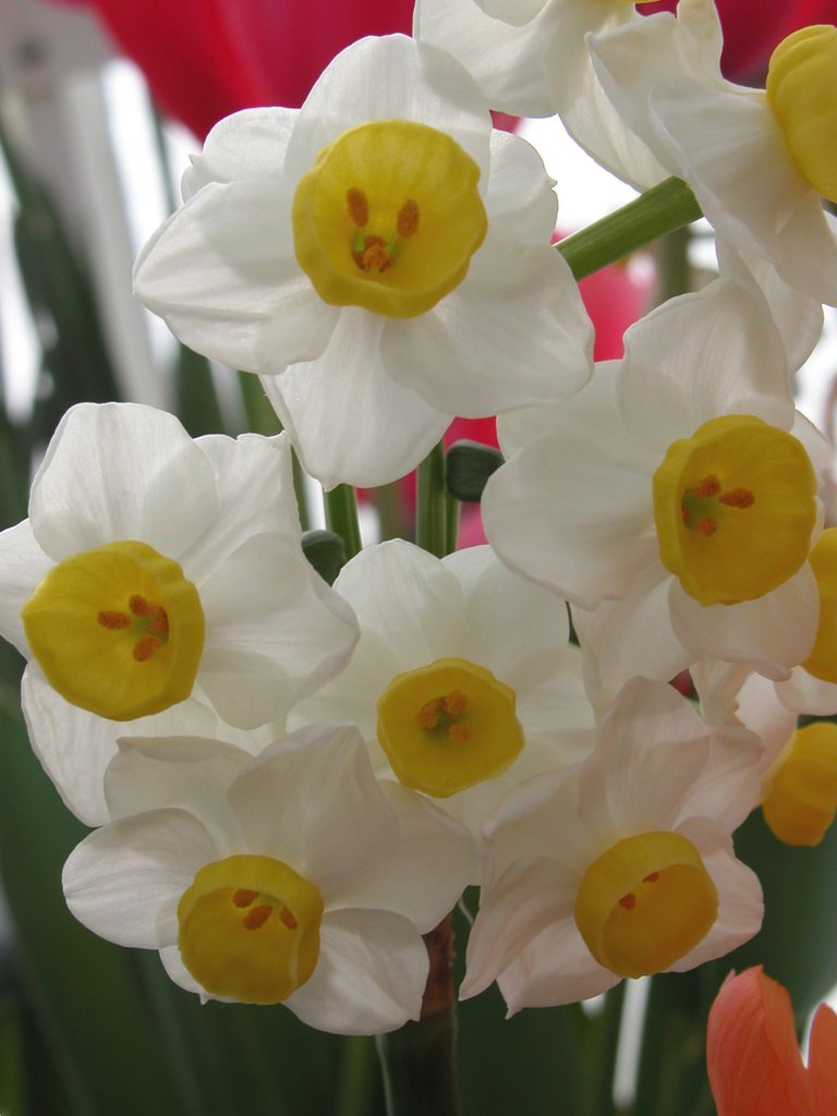 Smith College Spring Bulb Show (iii)
