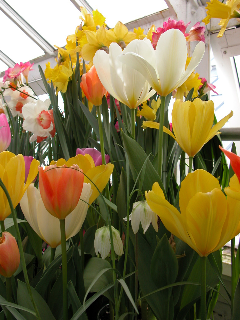 Smith College Spring Bulb Show (viii)