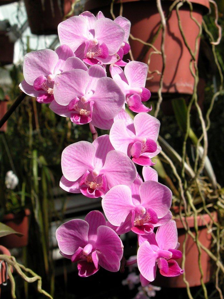 Smith College Orchids (vi)