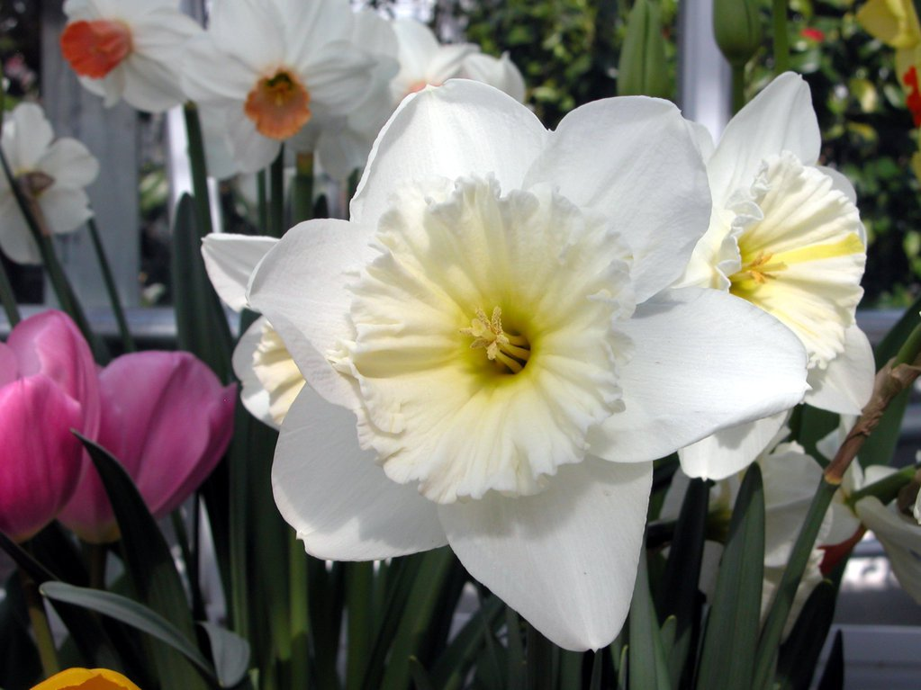 Smith College Spring Bulb Show (xxx)