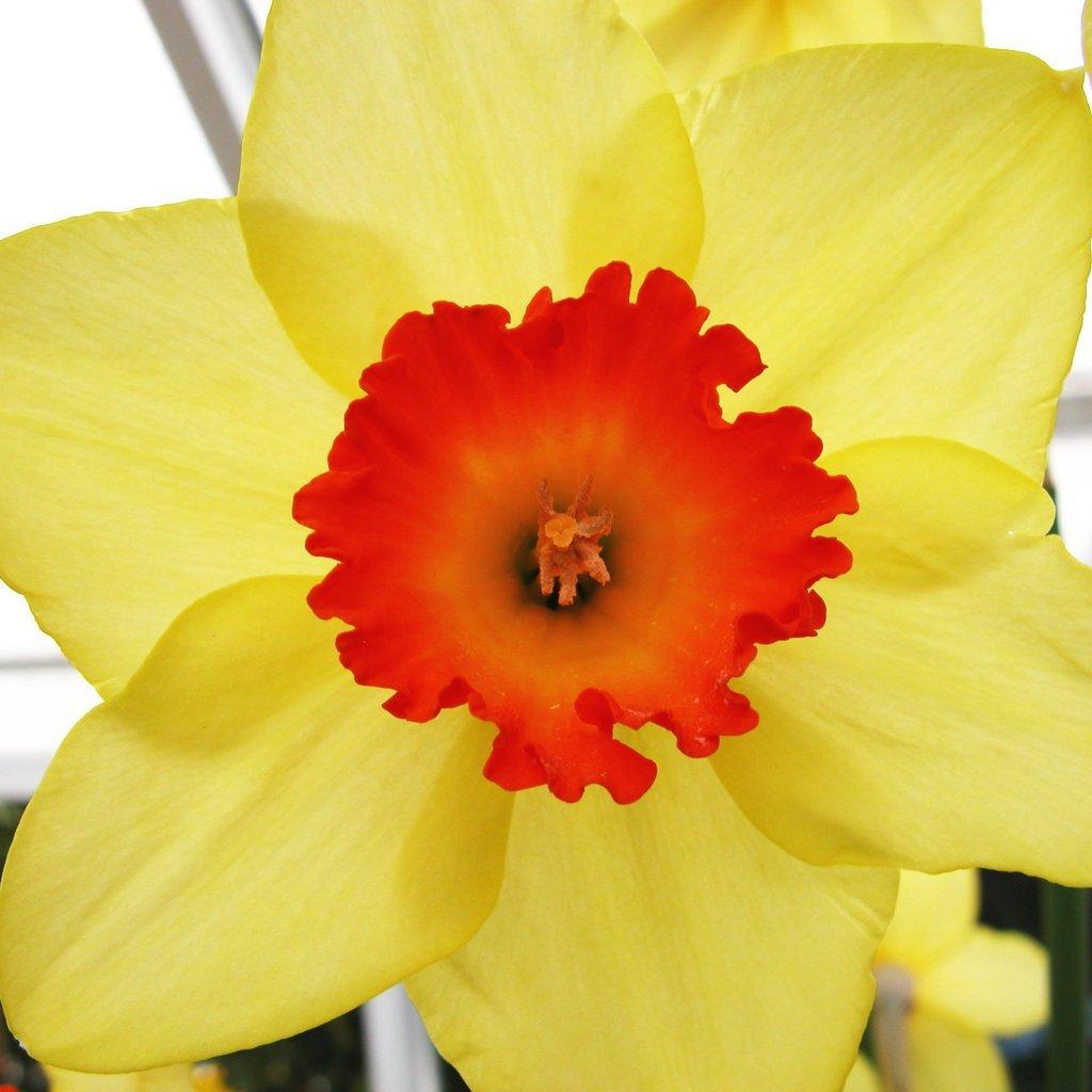 Smith College Spring Bulb Show (xxxv)