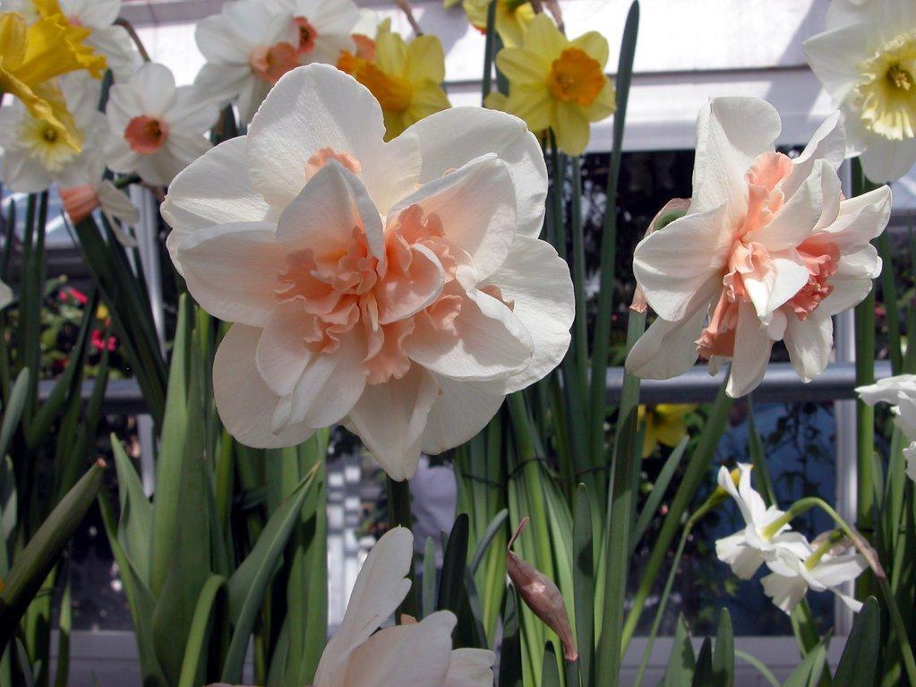 Smith College Spring Bulb Show (xxxvi)