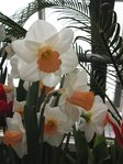 Smith College Spring Bulb Show (xiv)