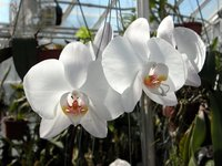 Smith College Orchids (i)