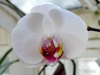 Smith College Orchids (iii)