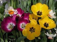 Smith College Spring Bulb Show (xxxi)