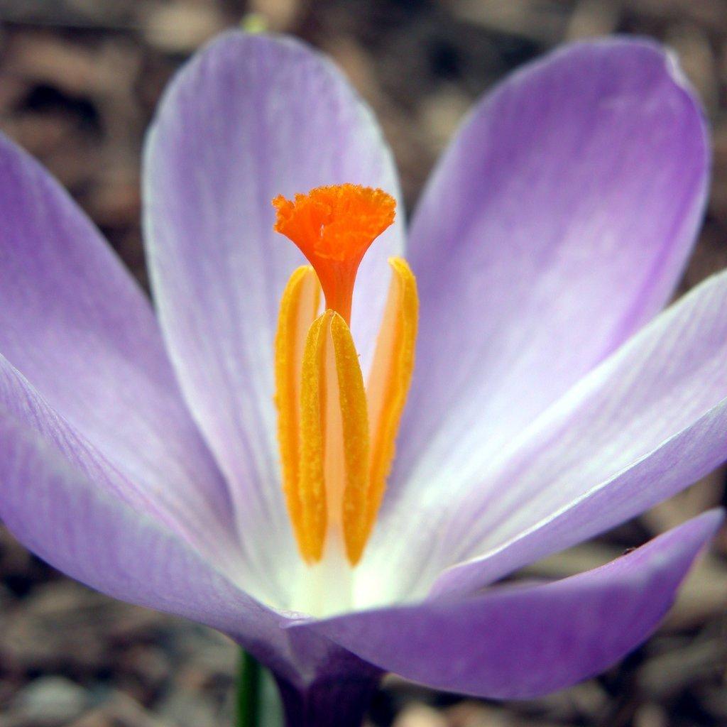 Purple crocus close-up
