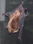 Brown bat in window