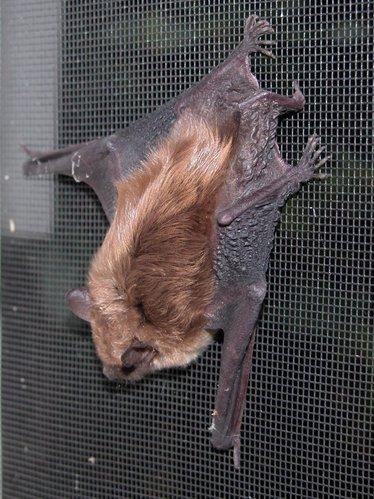 Brown bat in window