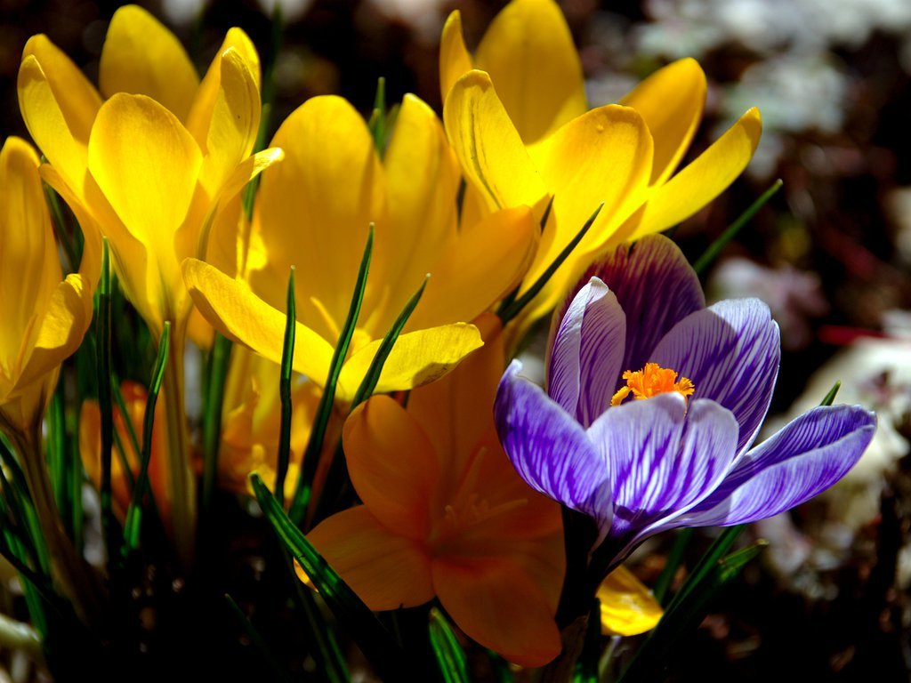 Yellow and blue crocus