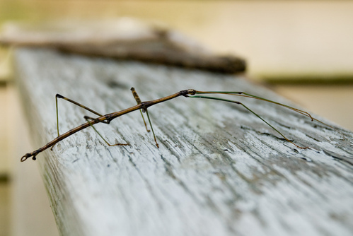 Walkingstick