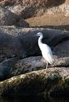 Egret?