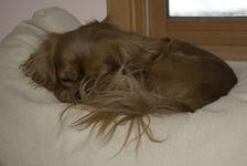 Comfort Spaniel
