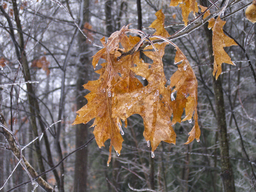 Icy oak leaves