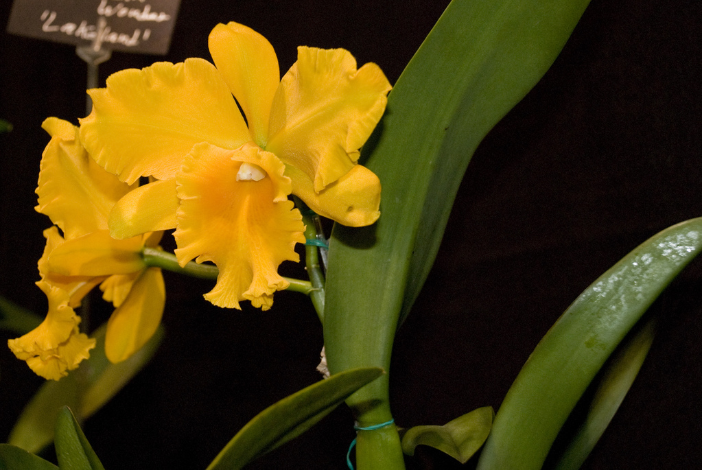 Amherst Orchid Society Show 2008