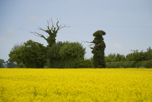 Rapeseed with trees