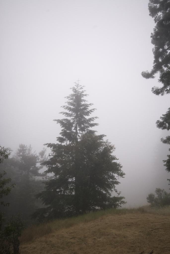 Foggy redwood