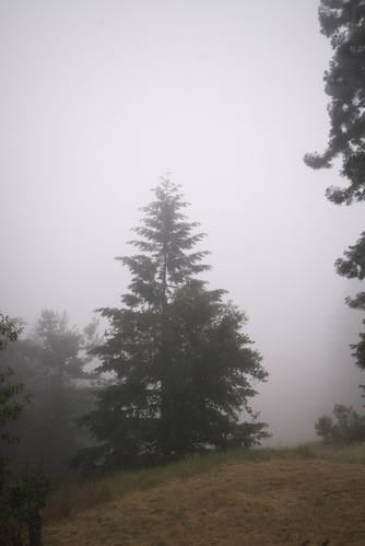 Foggy redwood