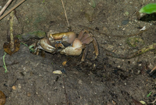 Big land crab