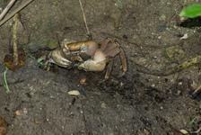 Big land crab