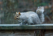 Bobtail squirrel