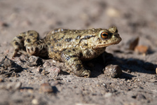 English Toad