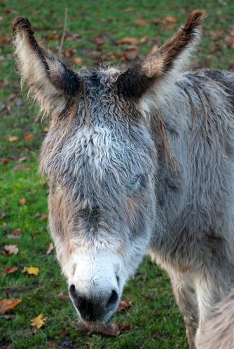 Donkey at Felbrigg