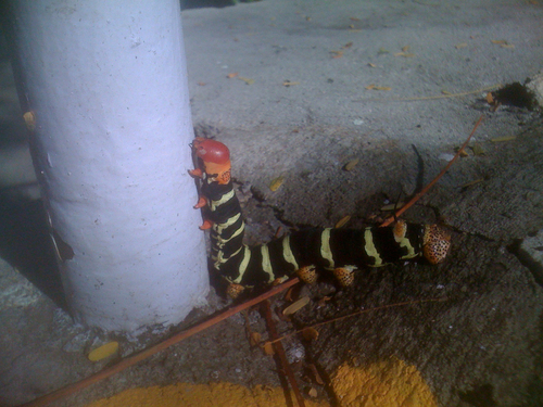 Huge caterpillar