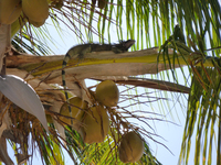 Another treed iguana