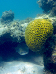 Puffer and brain coral