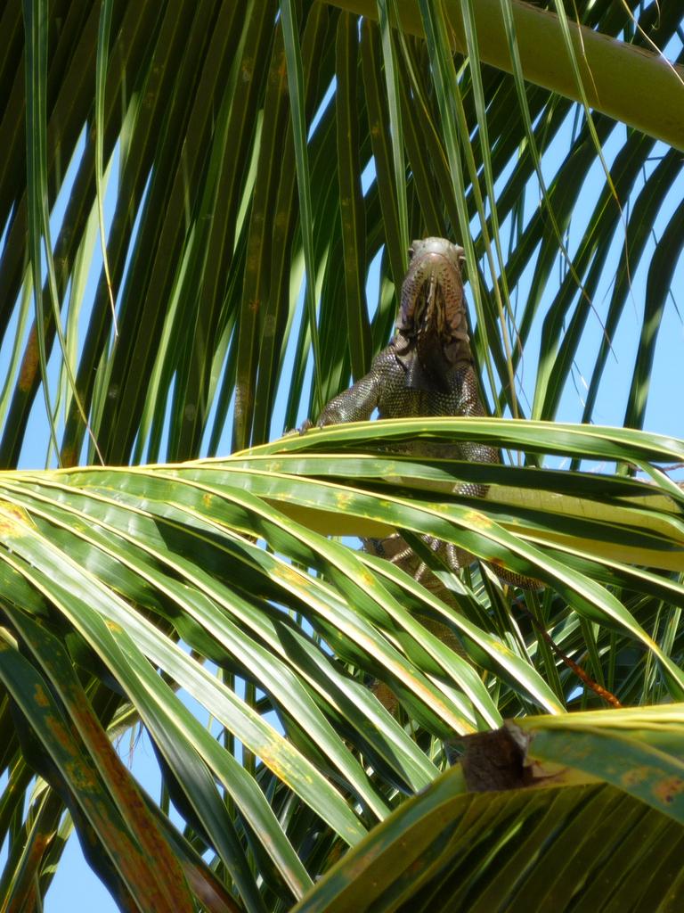 Iguana in a palm