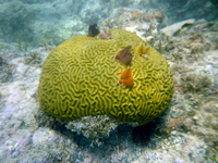 Brain coral with barnacles