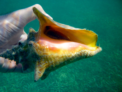 Conch shell with hermit crab