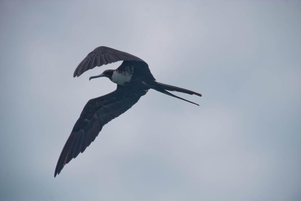 Cormorant?