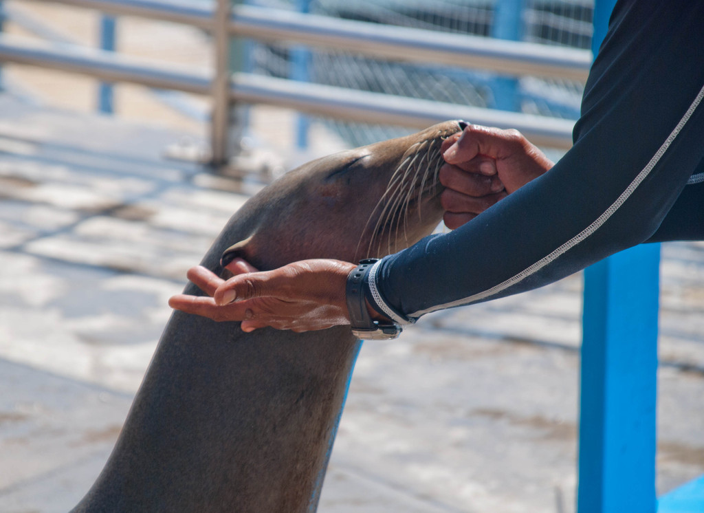 Sealions have ears (seals don't)