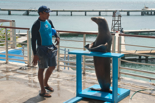 Performing sealion