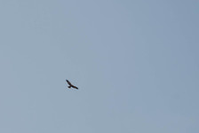 Marsh harrier?