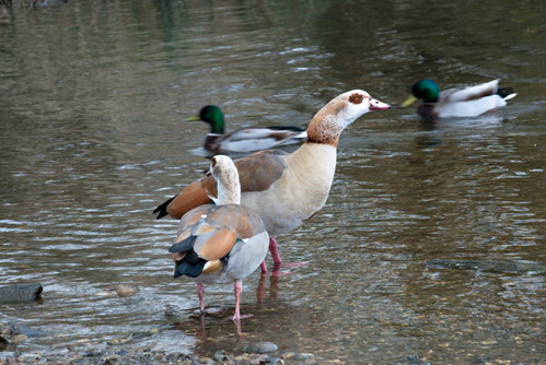Egyptian geese with ducks