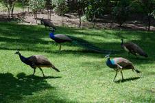 Peacock's in the Alcázar de Sevilla